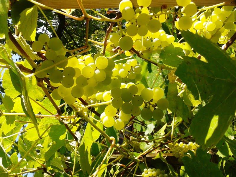 Vynuogės 'Solaris' - galima skanauti iškart arba pasigaminti sulčių ar vyno. Nuotr. A.Ramaškevičienė