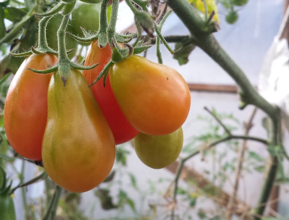 Kai jau paskutines daržoves nuimsite, šiltnamis prieš žiemą turi būti sutvarkytas.