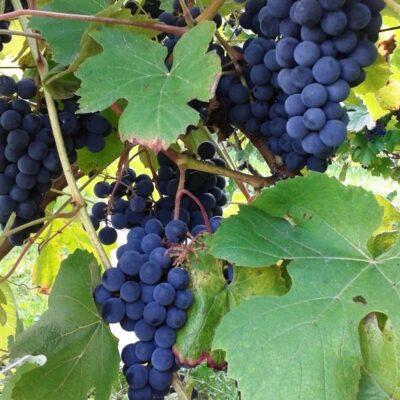 Vynuogių auginimas: mitai ir tikrovė