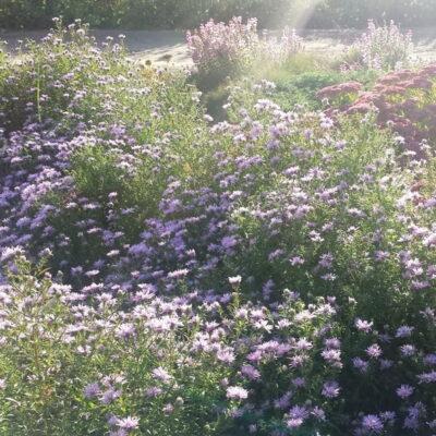 Vėlyvieji astrai ir jų deriniai su kitais augalais, žydinčiais rudenį