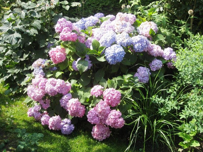 Didžialapė hortenzija žydi ant antramečių šakų, todėl jų jokiu būdu nenukirpkite prieš žiemą. Vilnius, nuotr. L.Liubertaitė
