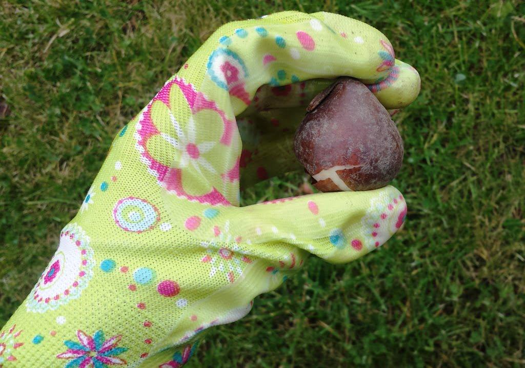 Kaip sodinti tulpes - ogi į trijų svogūnėlių gylį. Pasimatuokite iš akies, koks svogūnėlio aukštis, ir padauginkite iš trijų. Nuotr. L.Liubertaitė