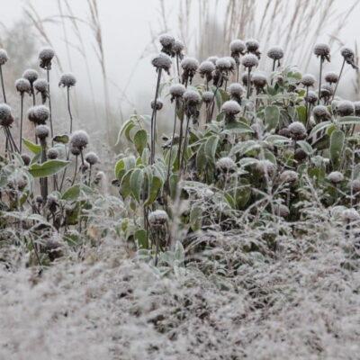 Ruošiam daugiamečius augalus prieš žiemą: kirpti ar nekirpti?