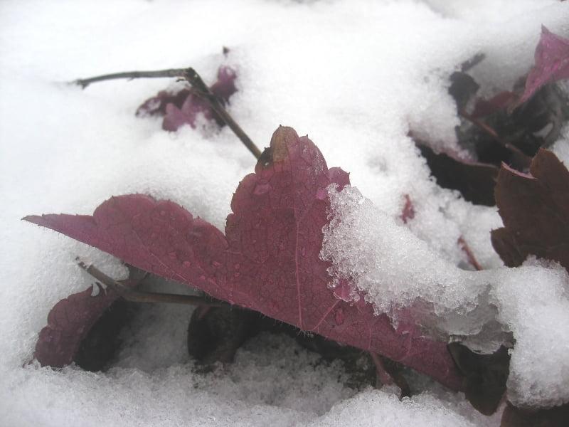 Alūnė (Heuchera) ir žiemą išlenda iš po sniego, išsaugojusi savo spalvą ir žvalumą. Nuotr. L.Liubertaitė