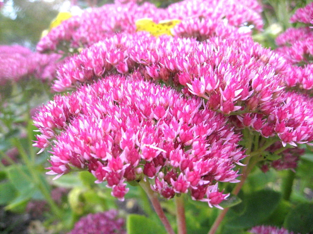 Vilkpupės, anksčiau vadintos šilokais, yra daugiametis augalas, kuris praktiškai nereikalauja priežiūros, o žydi ir per Vėlines. Nuotr. L.Liubertaitė