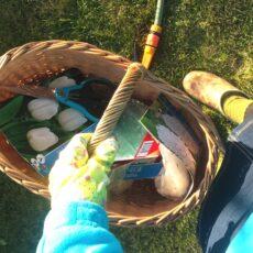 Kaip sodinti tulpes, kad pavasarį atrodytų įspūdingai
