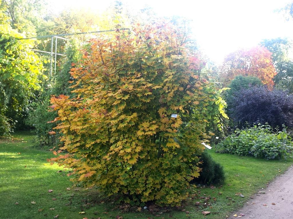 Apskritalapis klevas (lot. Acer Circinatum) VU botanikos sode Vilniuje. Rugsėjo pabaiga, nuotr. L.Liubertaitė