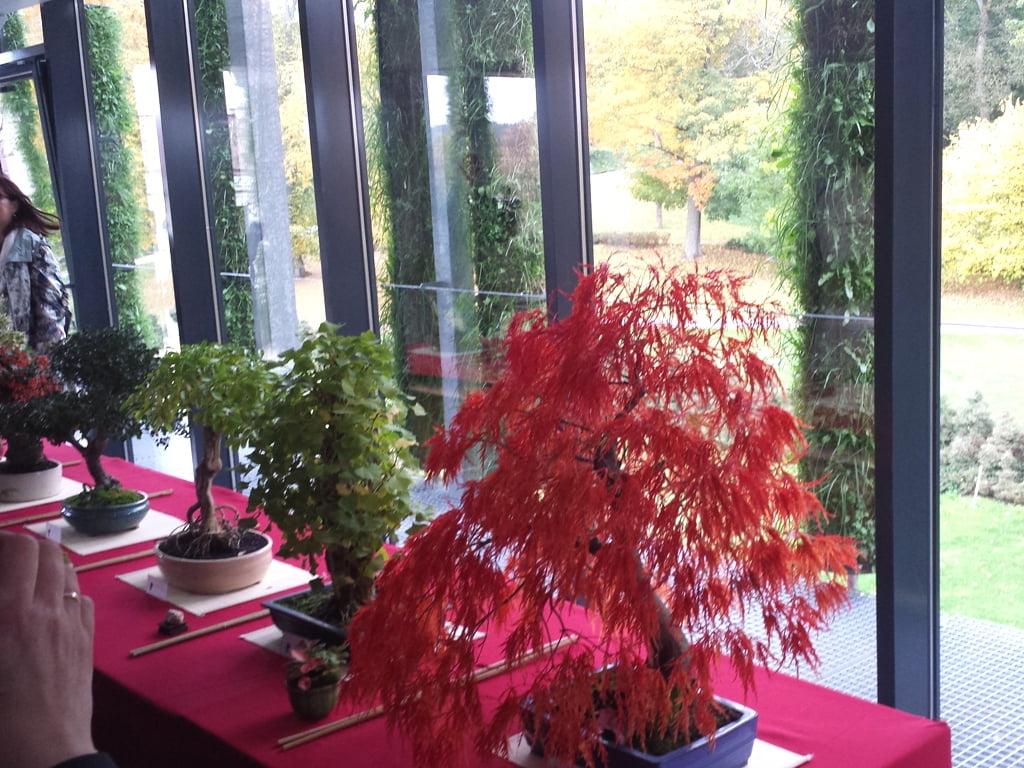 Rytietiško tipo klevų-bonsų paroda VU botanikos sode 2016 m. spalį. Nuotr.L.Liubertaitė