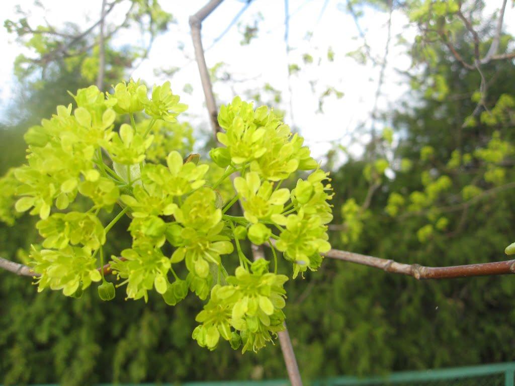 Žydintis paprastasis klevas, balandžio mėn. Kupiškis, nuotr. L.Liubertaitė