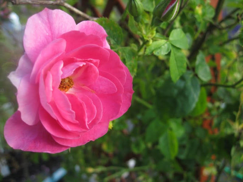 Kaip paruošti rožes žiemai, lemia ir pačios rožės veislė. Nuotr. L.Liubertaitė