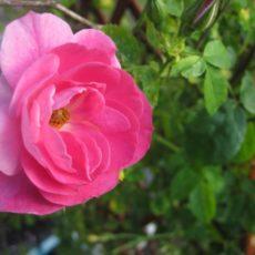 kaip ruošti rožes žiemai Geltonas karutis