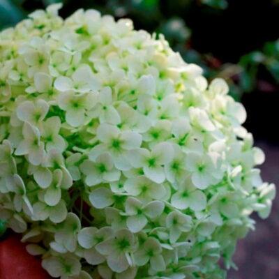 Augalai, kurie žydi madingiausia 2017-ųjų metų spalva