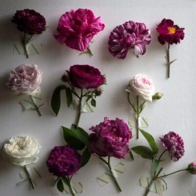 """""""Sibirkos rožynas"""": kai susitinka meilė rožėms ir verslas"""