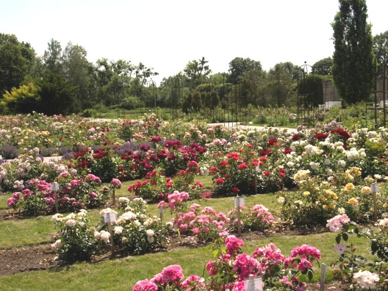 Sibirkos rožynas