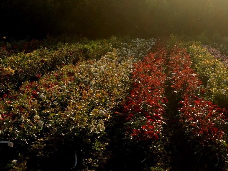 """""""Sibirkos rožynas"""" - tai tūkstančiai rožių..."""