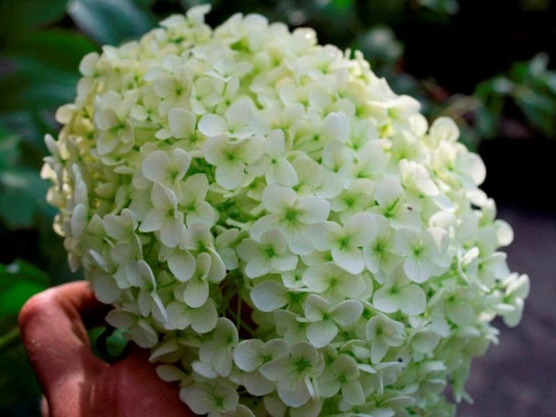 Šviesioji hortenzija (Hydrangea arborescens) 'Annabelle'