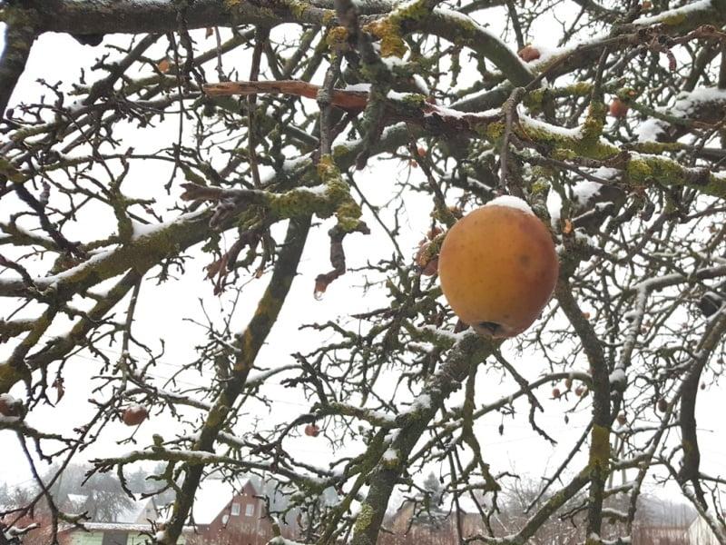 Palikite žiemai keletą obuolių kabėti ant medžio. Nuotr.L.Liubertaitė