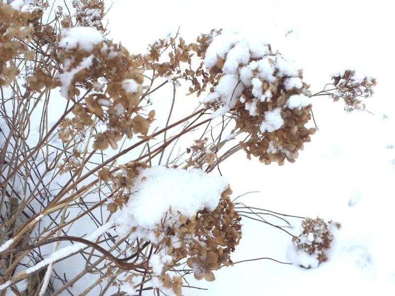 Šviesioji hortenzija atspari lietuviškoms žiemoms. Nuotr. L.Liubertaitė