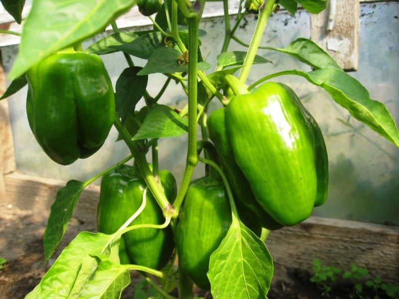 Paprikų auginimas dažnai nepasiseka dėl to, kad vaisiai užauga, bet nespėja prinokti. Nuotr. L.Liubertaitė