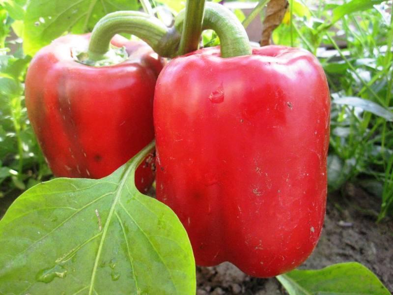 Paprikų auginimas