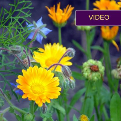 3 gėlės gražuolės, kurios padės kovoti su kenkėjais