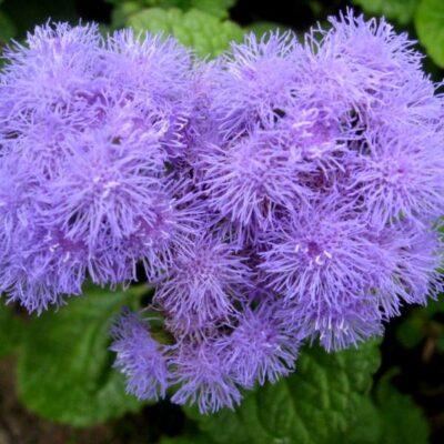 Kada sėti vienmetes gėles – kelios idėjos pagal mėnesius