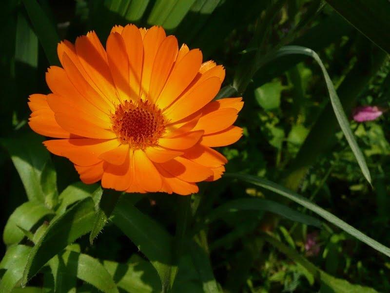 Medetkos gali būti įvairių atspalvių, įvairių žiedo dydžių. Papuoškite jomis savo daržą.