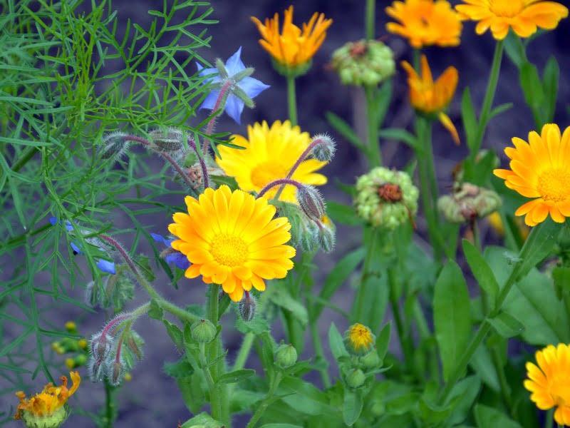 Medetkos labai gražiai atrodo melsvų gėlių fone.