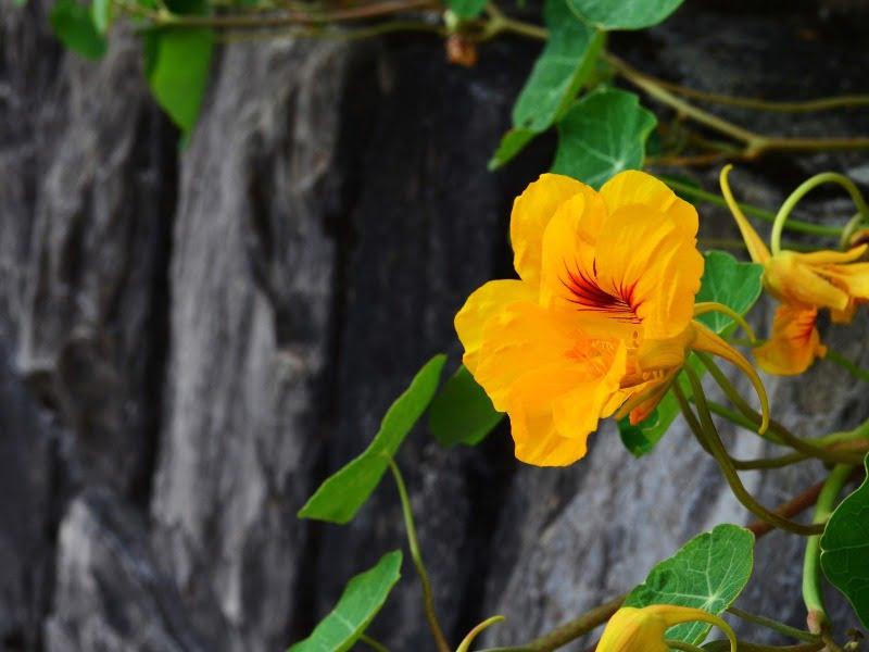 Nasturtės yra vijoklinis augalas, gali augti ant atramų, tvorų, palei sienas.