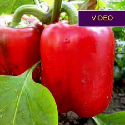 Paprikų auginimas: ką daryti, kad spėtų sunokti