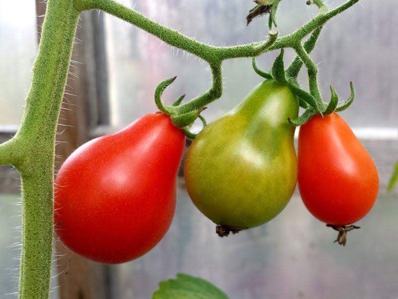 Indeterminantiniai pomidorai
