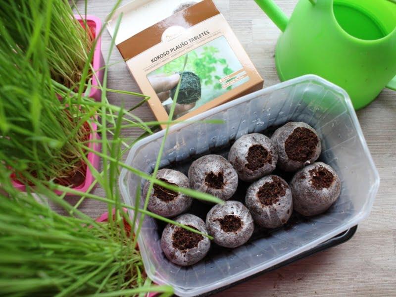 Kokosinės daiginimo tabletės jau išbrinko. Tereikia įsdėti sėklytes ir uždengti. Nuotr. L.Liubertaitė