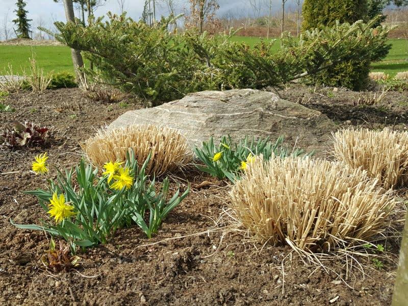 Pavasarinės gėlės Geltonas karutis