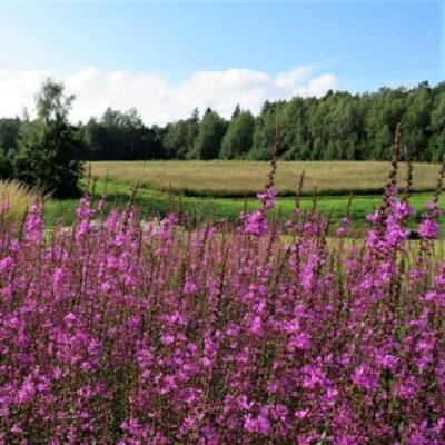Gražiausi augalai sodybai prie tvenkinio, ežero ar upės