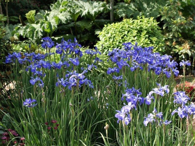 Sibirinis vilkdalgis (Iris sibirica) SILVER EDGE