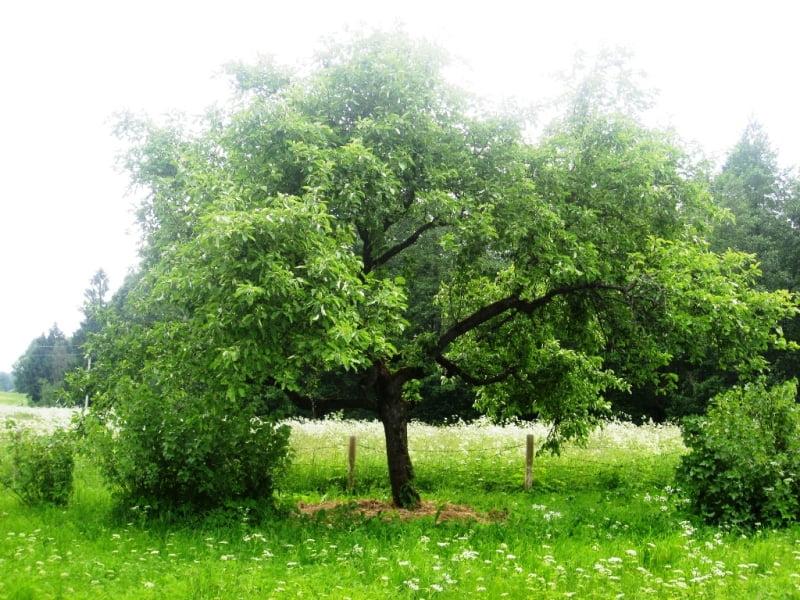 Norite, kad seni dirvonai virstų gražia veja sodyboje?
