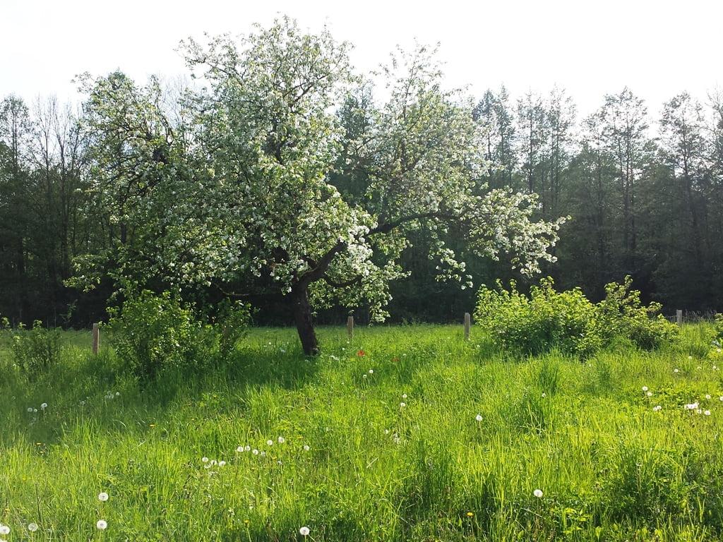 Kaip genėti seną obelį. Tinkamai išgenėta sena obelis dar ilgai džiugins gausiu derliumi. Nuotr.aut. L.Liubertaitė
