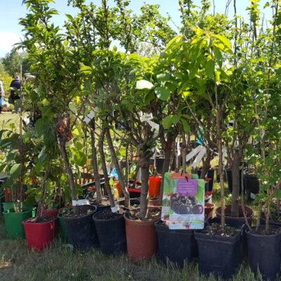Kaip patikrinti, ar medelynas parduoda sveikus augalus