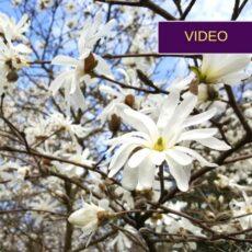 Gražuolė magnolija: kaip išsirinkti, pasodinti ir prižiūrėti