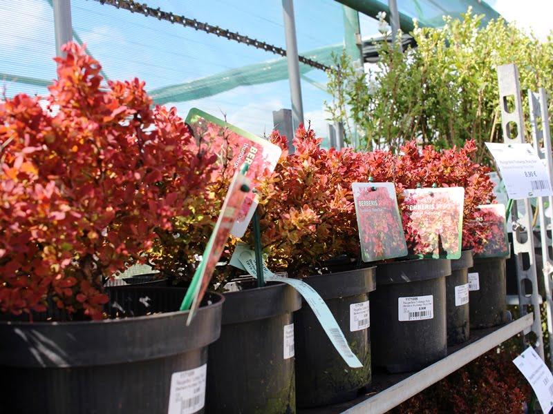 Kaip patikrinti, ar medelynas parduoda sveikus augalus? Nuotr. L.Liubertaitė