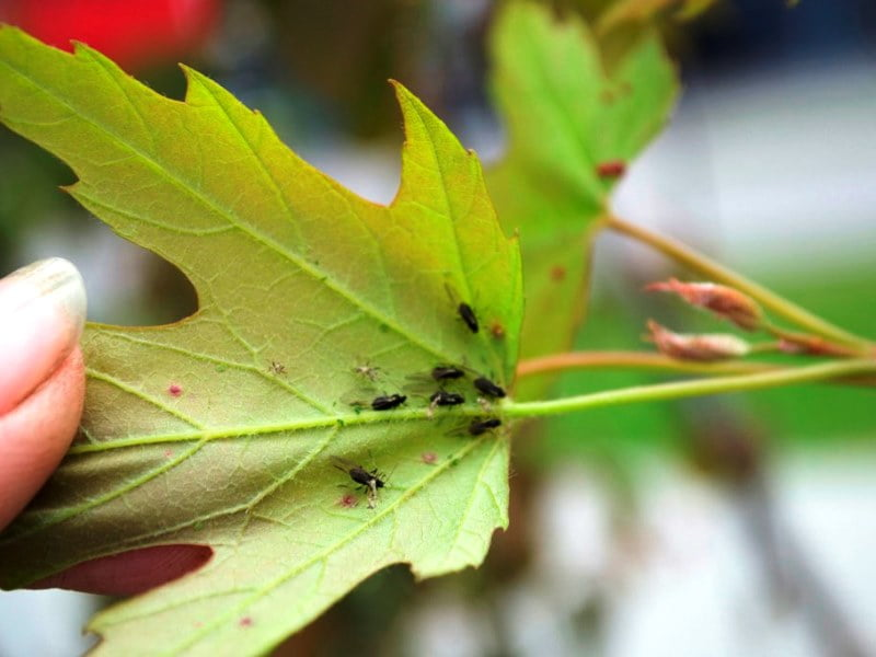 Augalo lapus apžiūrėkite iš abiejų pusių. Jei pamatysite vabaliukus ar kitokius kenkėjus, verčiau tokio augalo nepirkite.