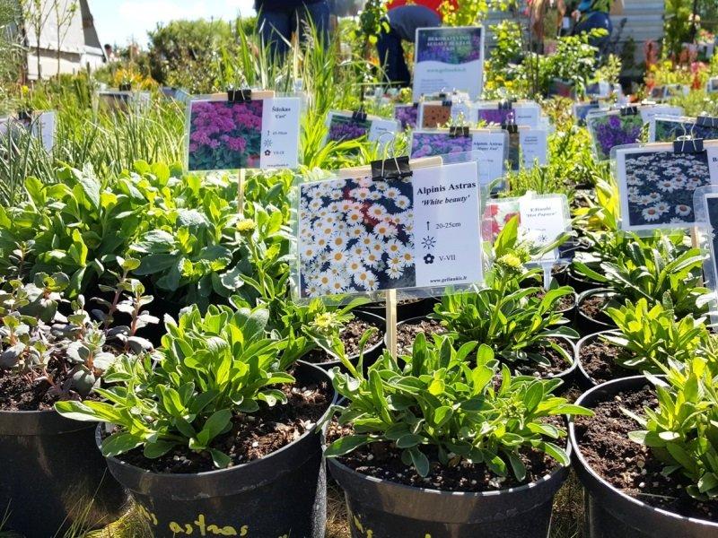 Medelynas gali pardavinėti augalus, iškastus iš grunto, arba jau paaugintus vazone. Nuotr. L.Liubertaitė