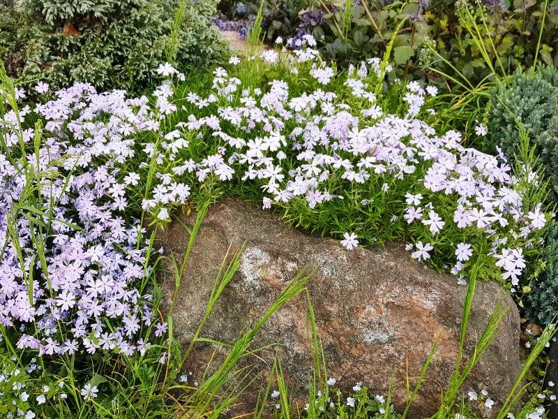 Alpinariumo akmenys ir derantys augalai sukuria harmoningą visumą