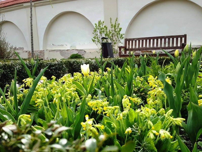 Gelsvos primulės ir gelsvos tulpės – darnus vaizdas, bet visai nenuobodus. Bernardinų sodas, Vilnius.