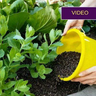 Grikių mulčias – natūrali priemonė nuo piktžolių