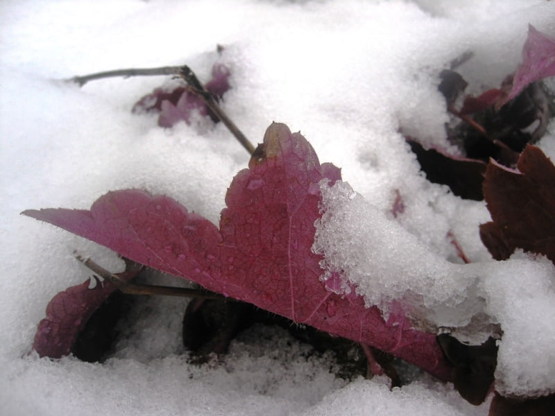 Alūnės lapas žiemą