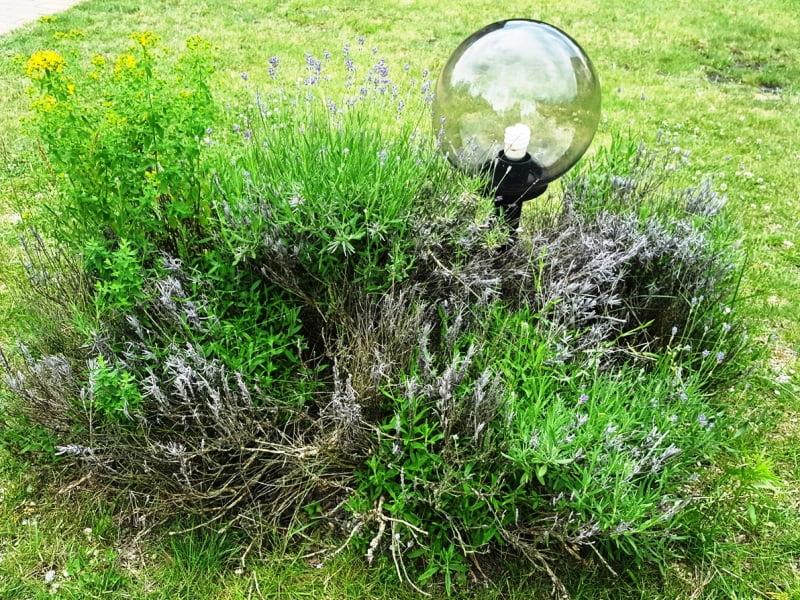 Neprižiūrėtas levandos krūmas. Jeigu neturite pakankamai laiko levandos priežiūrai, rinkitės alternatvius augalus, kurie sukurs ne ką mažesnį įspūdį be didelių pastangų.