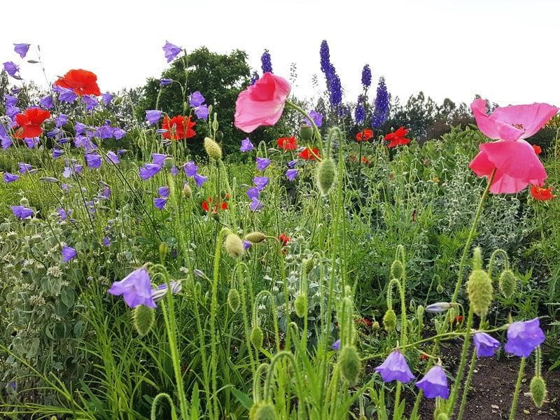 Kuo skiriasi gamtoje augančios augalų rūšys nuo tų, kurios auginamos natūralistinio stiliaus gėlynuose?