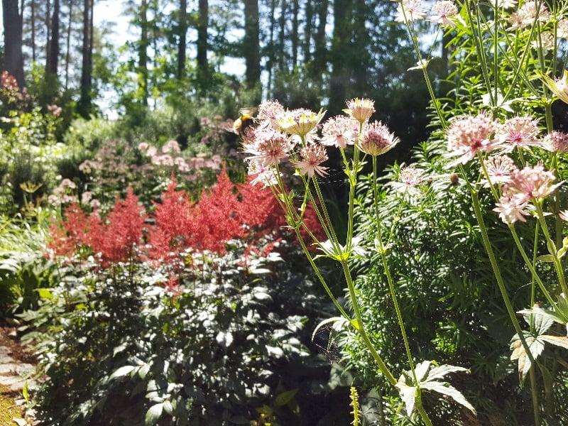Astrancijos – visai nelepios, puikiai prisitaikančios gėlės pavėsiui.