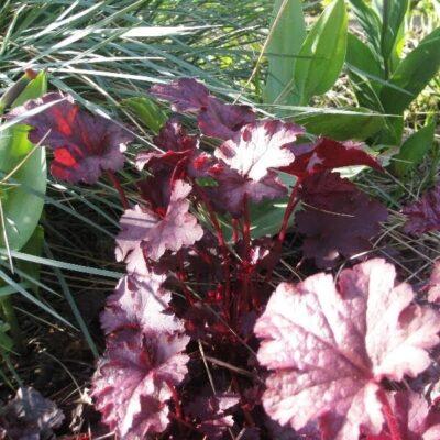 Neturite laiko? Štai augalai, kurių spalvoti lapai papuoš jūsų gėlyną